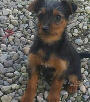 Maschietto cucciolo Yorkshire
