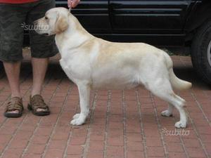Regalasi Labrador femmina color miele di 4 anni