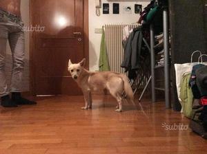 Cane di 1 anno piccola taglia