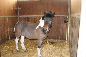 Cavalla Pony