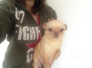 Chihuahua adulta di due anni con pedigree