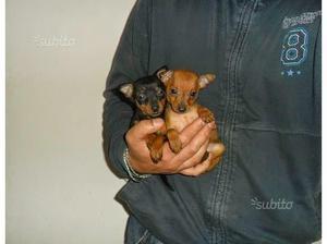 Cuccioli di Pincher MINI TOY