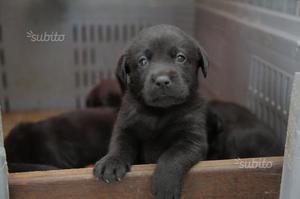Cuccioli di labrador retriver con pedigree