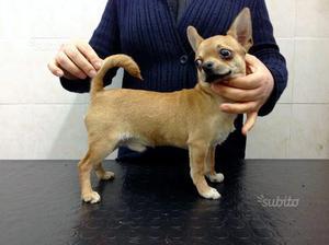 Cucciolo chihuahua, con pedigree