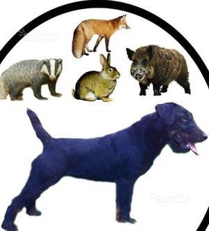 Jagd Terrier Sicily (La Tana) Allevamento