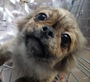 Pechinese cucciola di 4 mesi