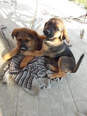 Regalo cuccioli metticci taglia media