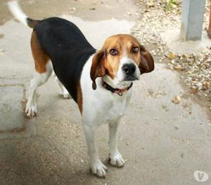 ADOZIONE DEL CUORe: Nancy, Beagle pura di 10 anni MARCHE