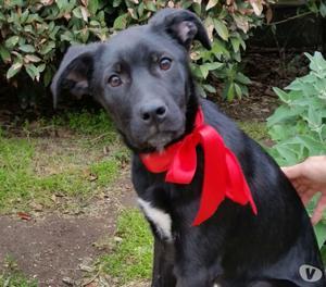 Blacky, simil labrador, femmina 3 mesi e mezzo