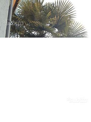 Pianta palma da giardino posot class - Costo palma da giardino ...