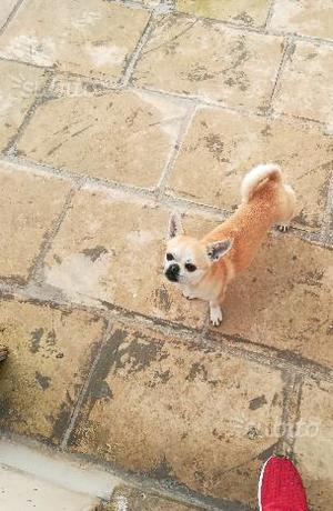 Chihuahua Adulte con Pedigree ENCI