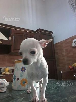Chihuahua mini mini toy di 7 mesi 1kg 200