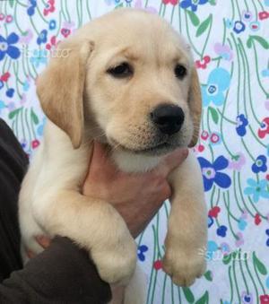 Cucciola di Labrador Retriever Gialla