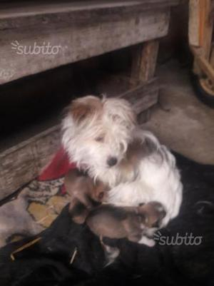 Cuccioli Jack Russel 2 maschi e 4 femmine
