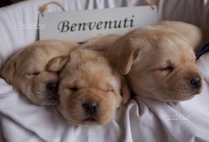 Cuccioli Labrador Retriever