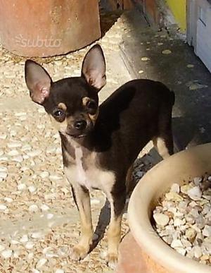 Cuccioli di Chihuahua maschi con pedigree