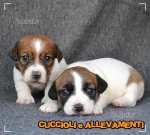 Cuccioli di Jack Russell (russel) - Allevamento