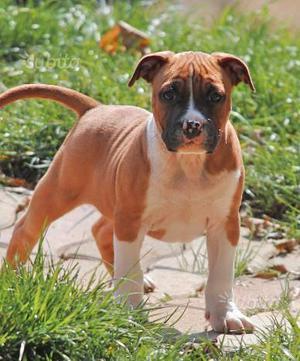 Cucciolo American Staffordshire Terrier (Amstaff)