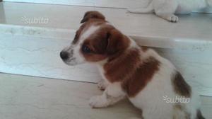 Cucciolo di Jack Russel terrier