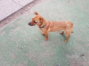 Dolcissima cagnolina 1 anno taglia nana (4 kg)