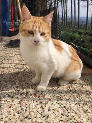 Gattina sterilizzata di 1 anno
