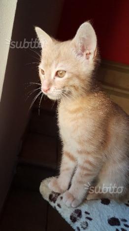 Gattino 3 mesi maschio