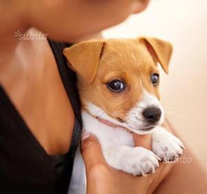 Jack russell cucciolo maschio