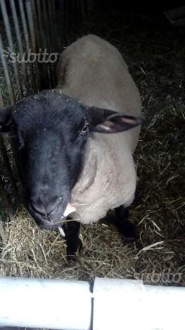 Maschio pecora suffolk di 1 anno