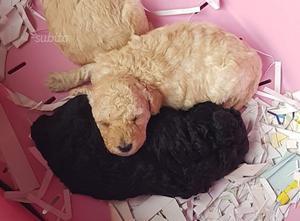 Barboncino cuccioli di 2 mesi