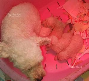 Bolognese cuccioli di 3 settimane