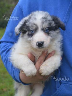 Border collie blue merle occhi blu