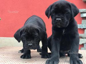 Cane corso cuccioli con pedigree Enci