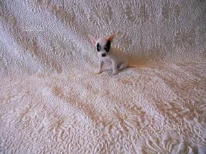 Chihuahua toy maschio e femmina