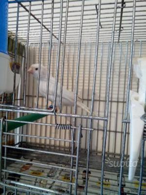 Coppia canarini bianchi recessivi