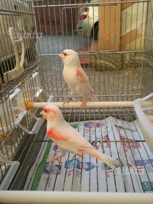 Coppia di canarini mosaico rosso foi