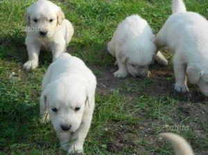 Cuccioli di golden retriever con pedi-gree