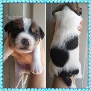 Cuccioli di jack russell con pedigree