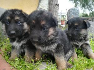Cuccioli di pastore tedesco