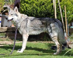 Cucciolo maschio cane lupo cecoslovacco