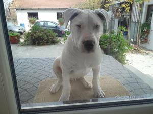 Dogo Argentino di 7 mesi