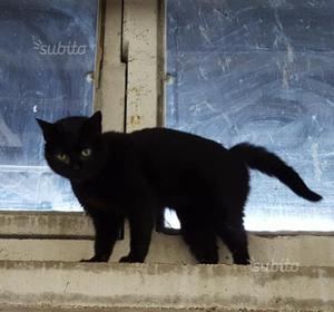 Giovane gatta nera educata e buona