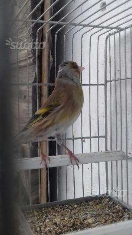 Ibridi femmine cardellino canarina