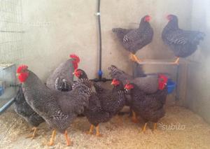 Pulcini di varie razze di galline