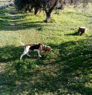 Segugio-beagle di 2 anni