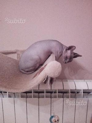 Sphynx cuccioli pedigree