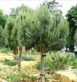 Bonsai pino giapponese pinus thumbergii posot class for Piante da giardino alte 2 metri