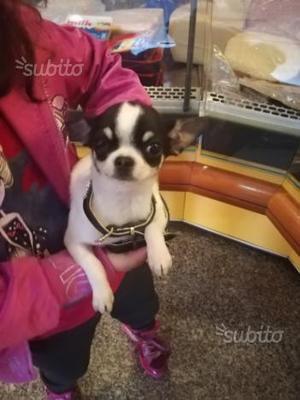 Chihuahua con pedigree femmina