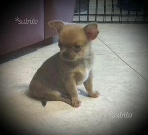 Chihuahua cucciolo maschio con pedigree ENCI