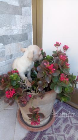 Chihuahua femminuccia 2 mesi