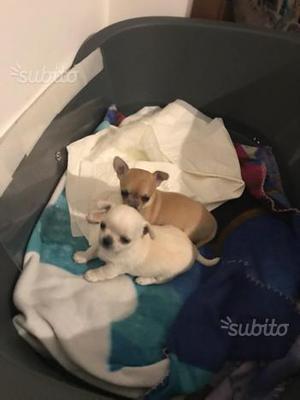 Chihuahua taglia piccola con pedigree Enci